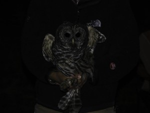 Barred Owl - St Ignace, MI - 10-12-2014 - Edited