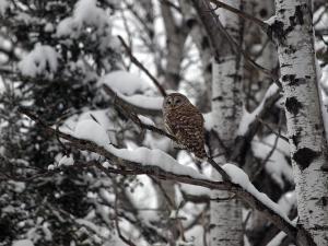 Barred-Owl---Sault-Sainte-Marie---2-23-2013---Web