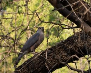 Cooper's-Hawk---De-Anza-Trail,-Tubac,-AZ---3-31-2013---Web